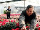 壮大花卉种植富民农业产业